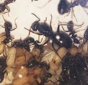 Voorbeeld mierenfoto_Formica fusca
