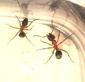 Voorbeeld mierenfoto_FormicaSanguinea