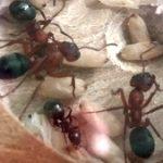 Voorbeeld mierenfoto_FormicaSanguinea_3